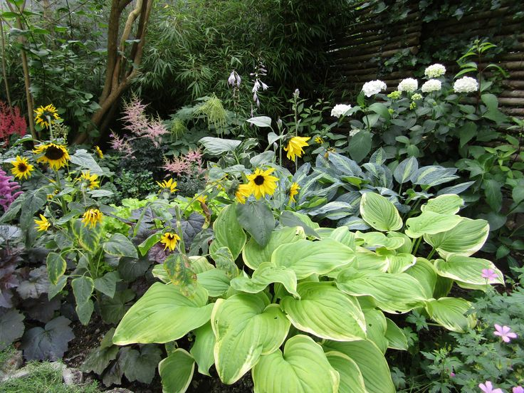 My back corner that was redone last year. Different hosta, heuchera, hydrangea white, astilbe and of course dwarf sunflowers. This is a shaded corner, but the sunflowers still like it. Normally the astilbe flowers earlier, but due to the cold spring it all flowers at once