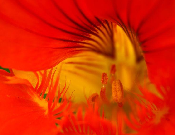 Nasturtium Flower. My first foray into macro photography. © Johan Ramerman (Australia). Canon EOS 40D + Canon EF 28-135mm f/3.5-5.6 IS USM lens + extender tubes 12mm, 20mm & 36mm combo. Aperture f/5.6 | shutter speed 1/3 sec | ISO 125.