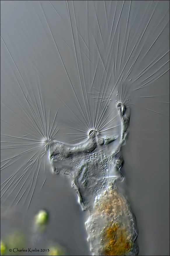 www.photomacrography.net :: View topic - Collotheca rotifer