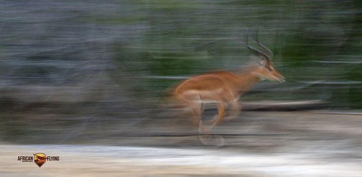 Panning shot of male impala in low light conditions #WildlifePhotography #Safari #SafariAfrica #Self-flySafari