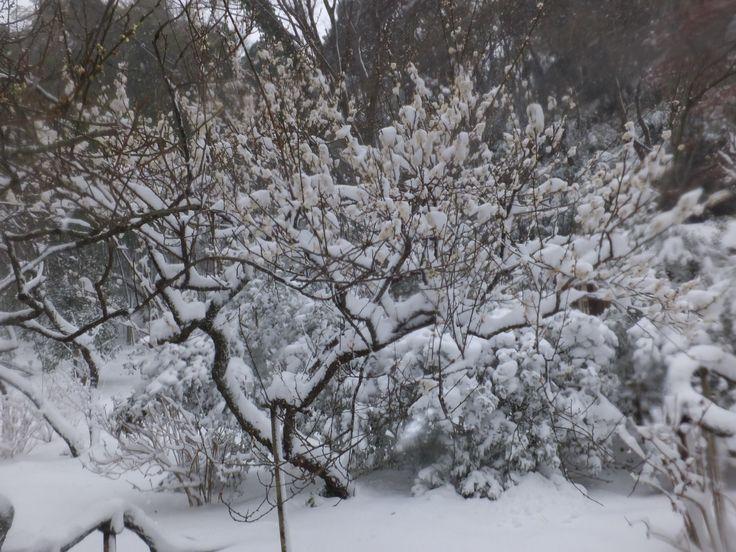 雪と梅(その10)