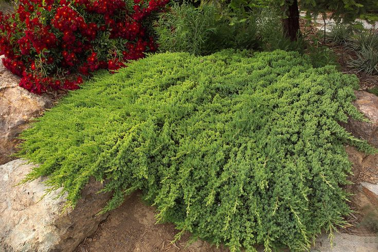 267 Best Images About Dwarf Conifers On Pinterest Gardens Pine And Dwarf Trees