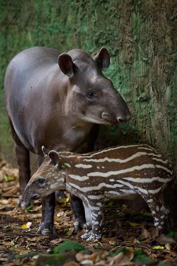 Newborn baby Tapir and his mother. The mountain tapir or woolly tapir (Tapirus pinchaque) is the smallest of the four species of tapir and is the only one to live outside of tropical rainforests in the wild. It is most easily distinguished from other tapirs by its thick woolly coat and white lips.