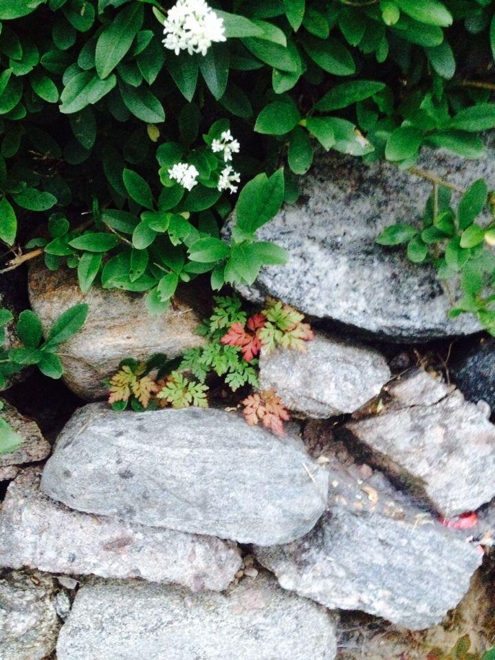 Stenmur och växter  Anna Johansson