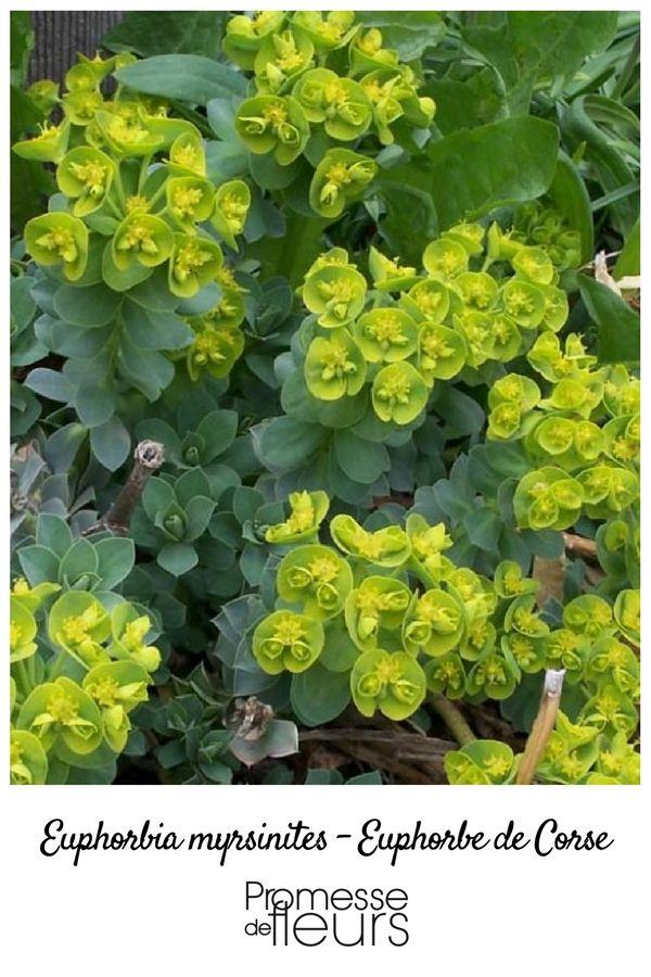 Euphorbe vivace de sol drainant, possédant un feuillage ornemental vert bleuté accompagné de fleurs dans un joli camaïeu de vert chartreuse et de doré.