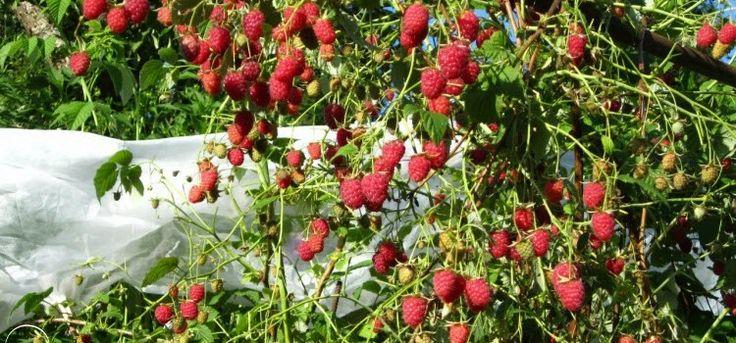 Выращивание малины – агротехника в деталях