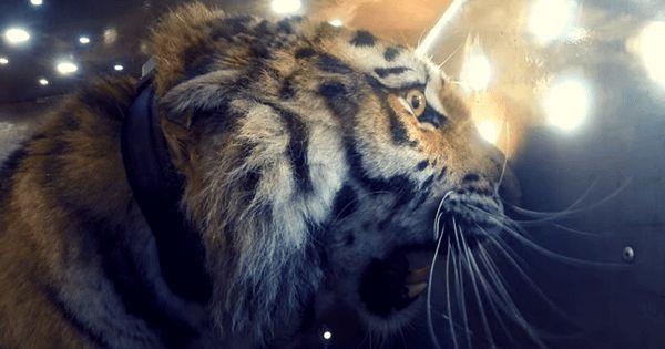 Захватывающий дух момент! Cпасенный Тигр впервые возвращается в дикую природу!
