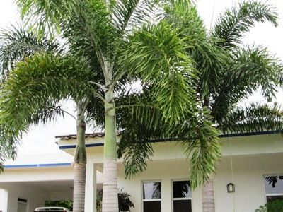 The foxtail palm tree is a landscaping beauty. After being discovered in the 80's there was black market trading for their seeds.