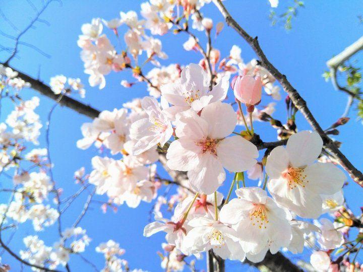 Cherry Blossom Tree No Flowers Peach Blossom Tree Flowering Cherry Tree Japan Flower