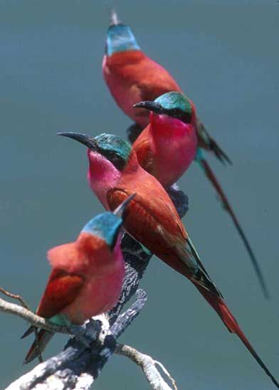 Southern Carmine Bee-eaters, photo by Greg Lasley.
