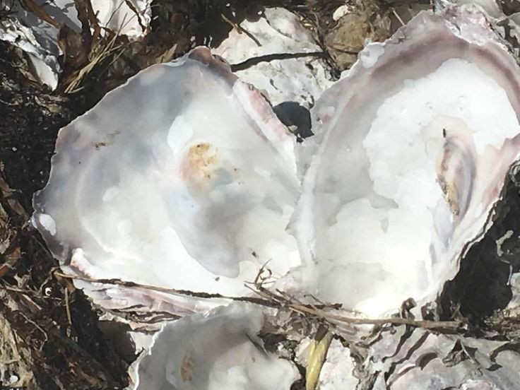 Oysters and Geoduck and more touring during the BC Shellfish & Seafood Festival!