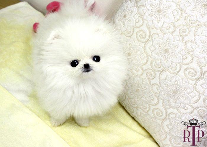 Baby La Prairie * White Micro Teacup Pomeranian | Cute ... - photo#37