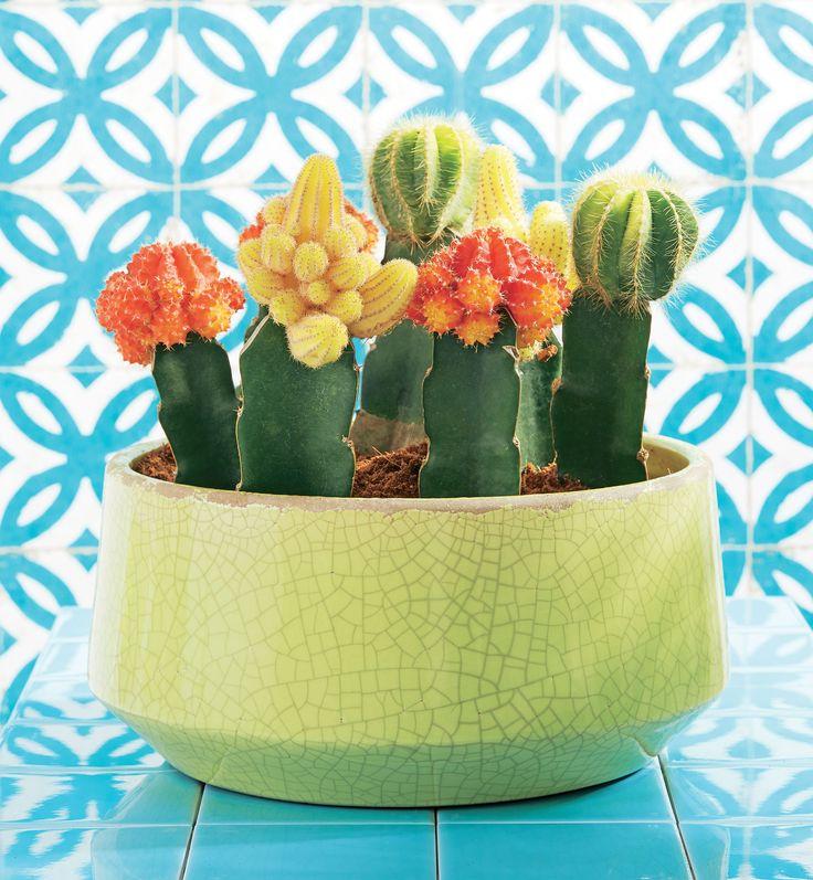 Happy Fantaisie avec Truffaut - Les cactus greffés étranges et surprenants à la fois !