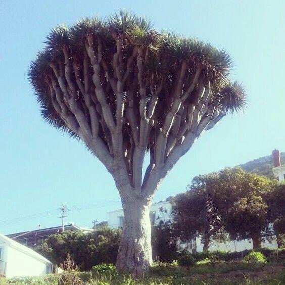 Best looking tree in Kalk Bay Cape Town