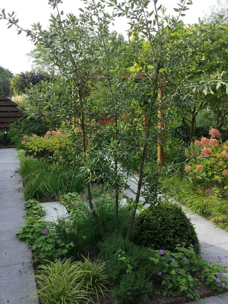 Meerstammige Quercus ilex in tuin van www.groenspecialisten.nl