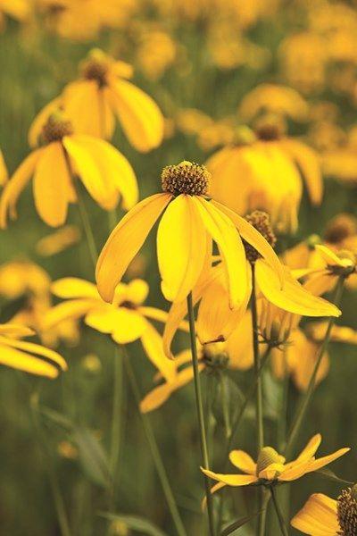 Rudbeckia nitida 'Herbstonne' is a low-maintenance perennial.