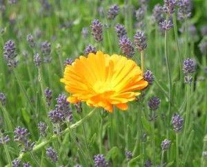 Körömvirágos-levendulás Gyógyírom