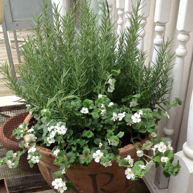 Rosemary And Bacopa Bacopa Is Very Hearty And Grows