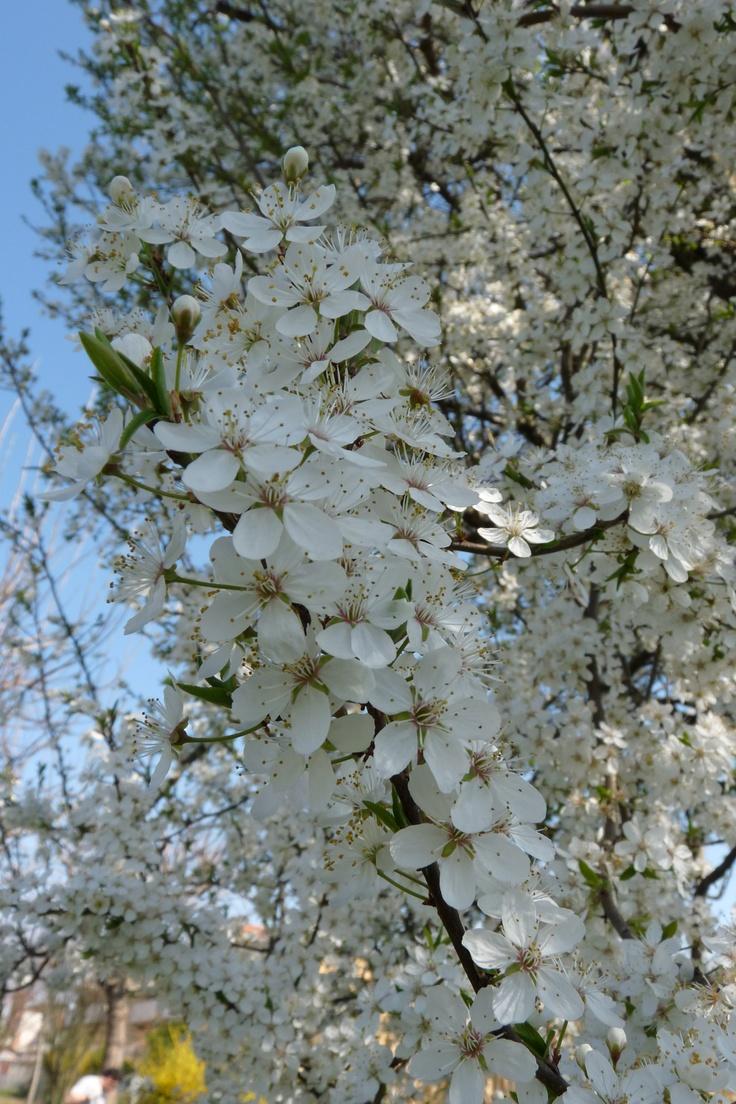 Amolaro flowers