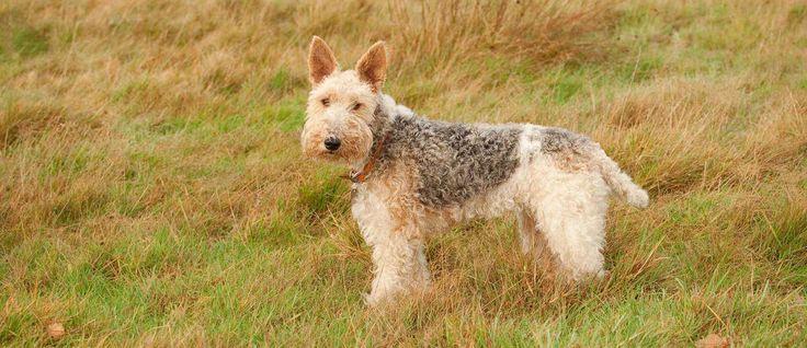 De Fox Terrier Draadhaar wordt veelal gebruikt voor de jacht, waaronder de vossenjacht in Engeland. Dit ras kan ook uitblinken in veel verschillende activiteiten, zoals kijken en achtervolgen, als een waakhond, behendigheid, tracking en ook het voor het uitvoeren van trucs.