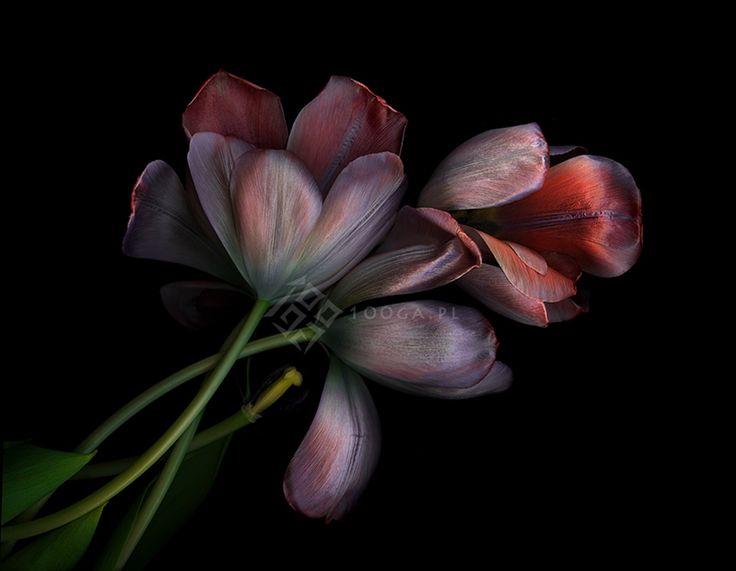 Plenty of Plants - Joanna Stoga Photography, tulips, flowers, plants, botanical Inspiration, floral, flowers, picture,