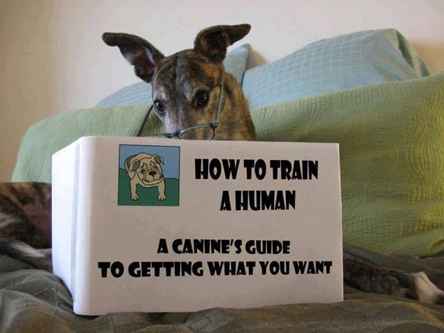 Love it! Smart greyhound.
