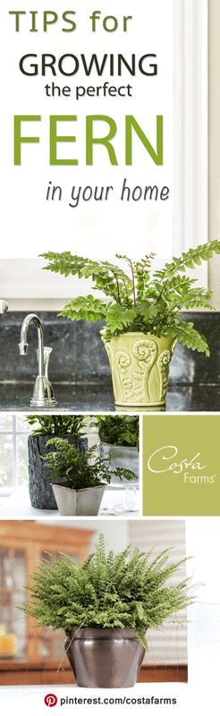 Get the secrets to picking out and growing ferns as houseplants in your home!