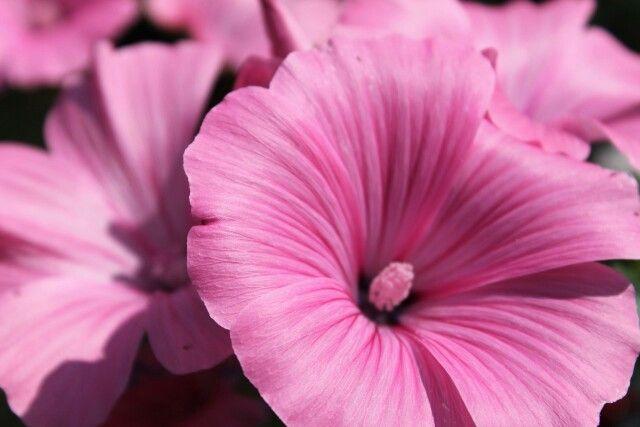 Лаватера - прекрасные цветы с красивым названием)