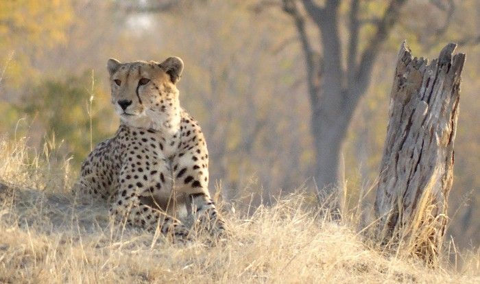Cheetah near Davison's Camp #Hwange #Zimbabwe #safari
