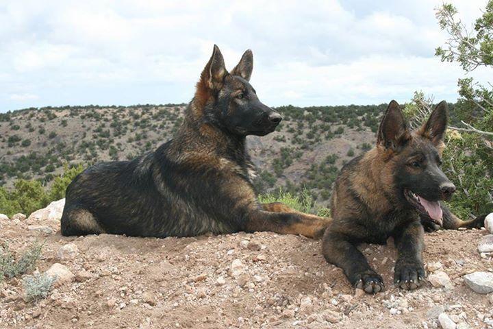 DDR German shepherd puppies