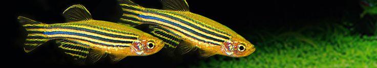 Danios - cold water fish