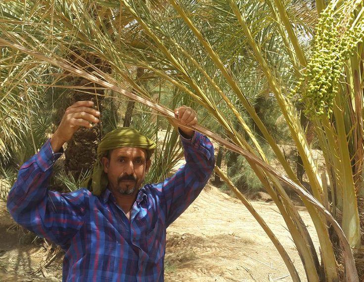 Inmitten der algerischen Sahara, in der Oasenstadt Biskra, liegt das jüngste Anbauprojekt der EgeSun GmbH. Dort gedeihen zahlreiche prächtige, bis zu 20 Meter hohe Dattelpalmen, die seit zwei Jahren für...