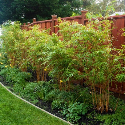 clumping bamboo to cover the fence