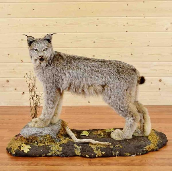 Taxidermy for Sale - Safariworks Taxidermy large selection of Mounted Animals, Game Heads, Hunting Trophies, Horns, Antlers, Skulls and Stuffed Animal Taxidermy