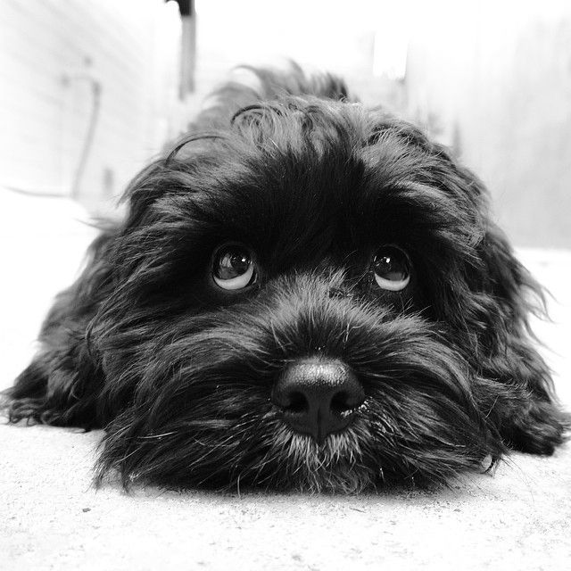 Instagram by littlemrbert   Black Cavoodle   Puppy Tales Instagram Dogs #puppytales #puppy
