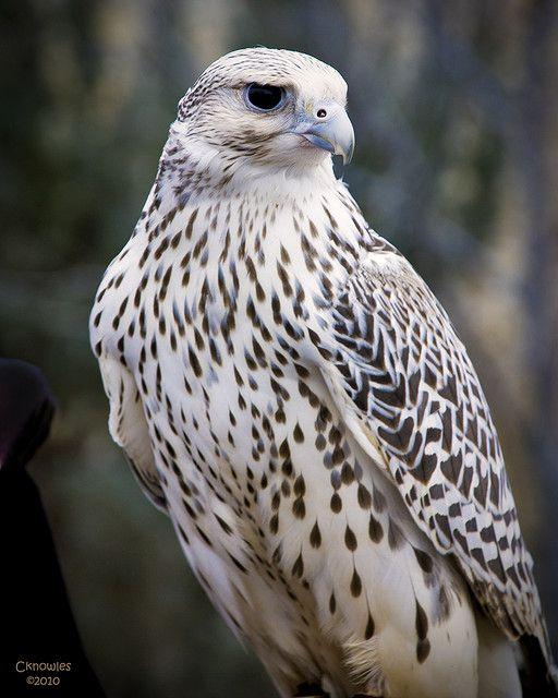 Gyrfalcon Falcon--gorgeous raptor bird