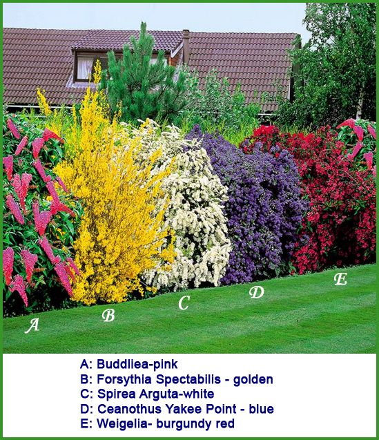 A combination of flowering shrubs planted in a row to create a colorful hedge, a shelter for birds & insects as well as providing privacy. The shrubs provide blooms from late February until the end of summer. The fully grown height in cms for each is: A: Buddliea- Pink 125-150, B: Forsythia Spectabilis - golden 150-250, C: Spirea Arguta - white 150-200, D: Ceanothus Yankee Point - Blue 125-150, E: Weigelia - burgundy red 125-175. Source:www.gardens4you.co.uk