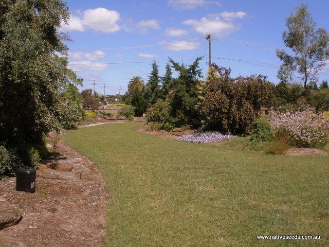 Native Redgrass lawn