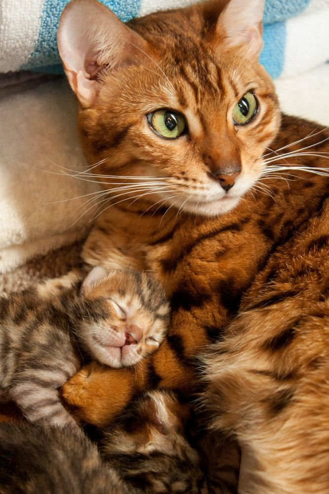 Bengal Cat Hd Wallpaper Caira The Bengal And One Of Her Newborn Kittens Cuddling