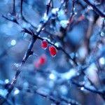 Fondo de Pantalla el rojo #pasión destaca en el hielo