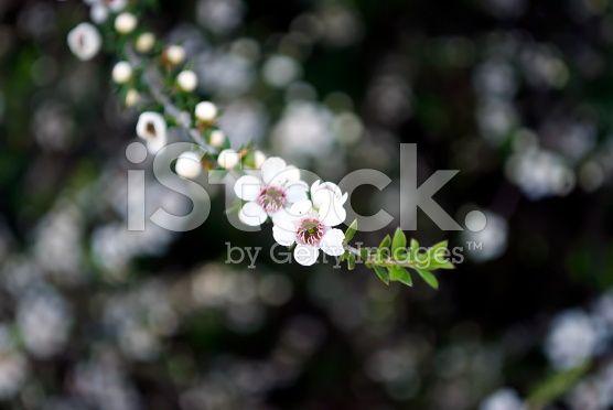Manuka (Leptospermum scoparium) Tea Tree royalty-free stock photo