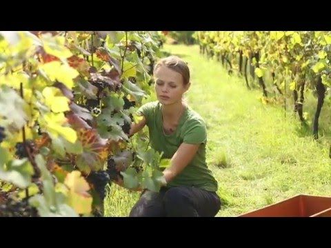 Climate risks and winemaking  | Cornwall Campuses | University of Exeter
