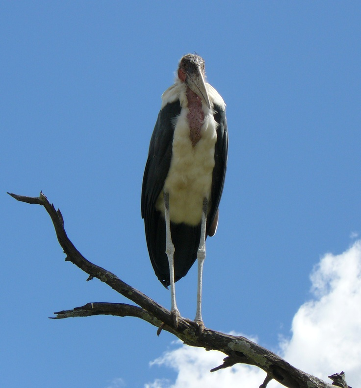 Maribyu Stork. Kruger National Park, South Africa 2009.