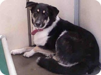 Ukiah, CA - Border Collie. Meet MARGIE, a dog for adoption. http://www.adoptapet.com/pet/17944732-ukiah-california-border-collie