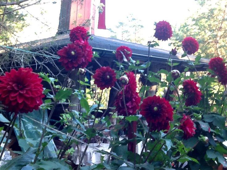 Dahliat, punainen