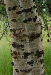 Commiphora Viminea/Merkeri        Zebra-bark Commiphora         Sebrabaskanniedood         6 m      S A no 279