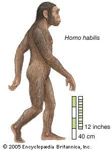 Homo habilis (2100 - 1500 Ka) was a species of the tribe Hominini, during the Gelasian and early Calabrian stages of the Pleistocene geological epoch. Người khéo léo hay xảo nhân, tại thời kỳ đầu của thế Pleistocene, phát hiện nhiều ở vùng Đông Phi.