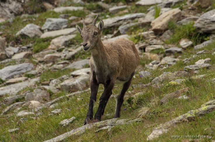 Young capricorn. The Alpes, France.