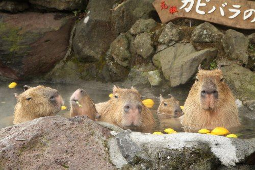 Capybara Hot Springs Celebrates 30 Years of Giant Rodent Relaxation - Japan