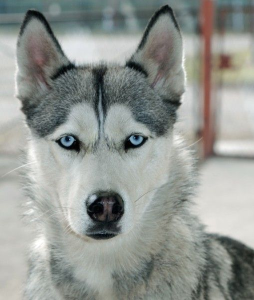 Alaskan Husky- I have to have one!